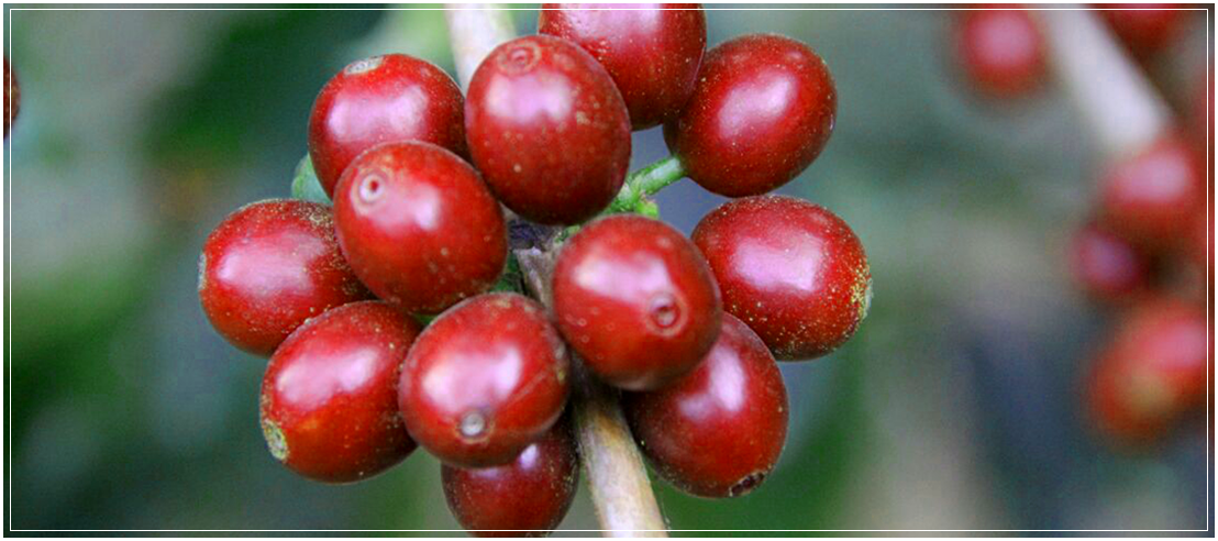 Kávová odrůda RED BOURBON