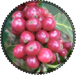 Kávová odrůda MARACATTURA