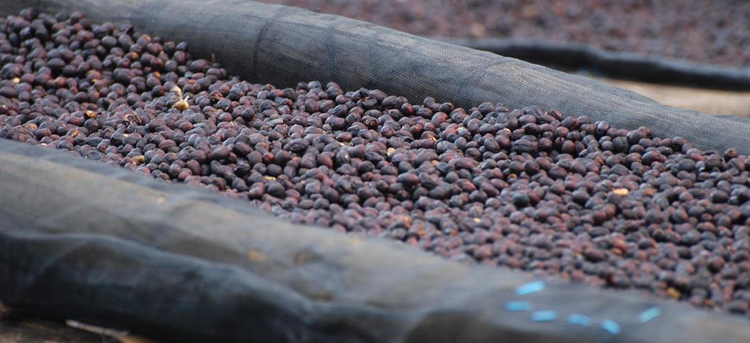 Přírodní proces zpracování zrnkové kávy