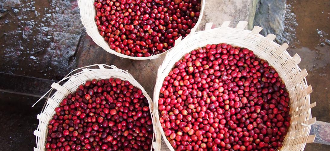 Sbírání kávových zrn