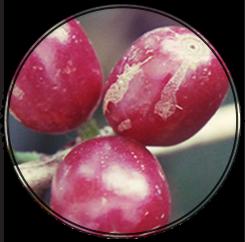 Kávová Etiopská odrůda HEIRLOOM